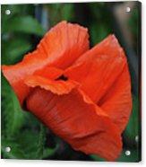 Giant Poppy-2 Acrylic Print