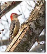 Giant Red Headed Woodpecker  Acrylic Print