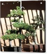 Giant Redwood Bonsai  Acrylic Print