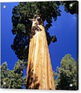 Giant Sequoia Acrylic Print