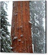 Giant Sequoia Tree Acrylic Print