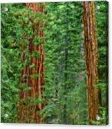 Giant Sequoias Sequoiadendron Gigantium Yosemite Np Ca Acrylic Print
