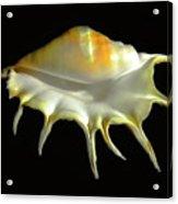 Giant Spider Conch Seashell Lambis Truncata Acrylic Print