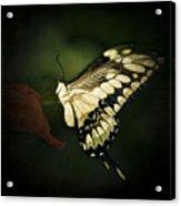 Giant Swallowtail 2 Acrylic Print