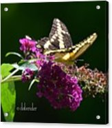 Giant Swallowtail Butterfly Acrylic Print