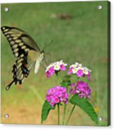 Giant Swallowtail Butterfly II Acrylic Print