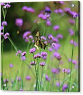 Giant Swallowtail Butterfly In Purple Field Acrylic Print
