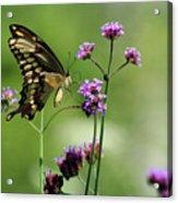 Giant Swallowtail Butterfly On Verbena Acrylic Print
