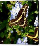 Giant Swallowtails Acrylic Print
