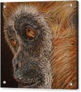 Gibbon Acrylic Print