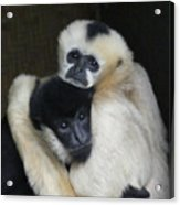 Gibbon Togetherness Acrylic Print