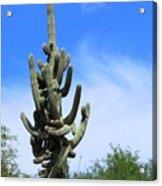 Gigantea Saguaro Old And Strong Acrylic Print