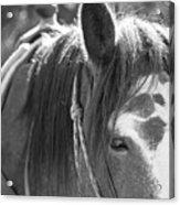 Gillagan The Horse In Glacier National Park   Acrylic Print