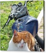 Ginger And White Tabby Cat Sunbathing On A Motorcycle Acrylic Print