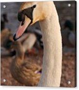 Ginger Swan Acrylic Print