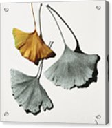 Ginkgo Leaves Acrylic Print
