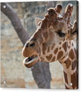 Girafe Head About To Grab Food Acrylic Print