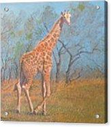 Giraffe - Safari - Summer 2008 Acrylic Print
