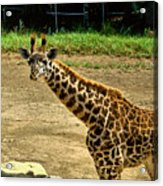 Giraffe 1 Acrylic Print