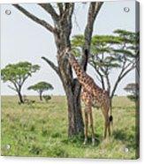 Giraffe 2 Acrylic Print
