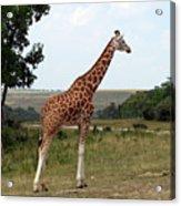 Giraffe 3 Acrylic Print