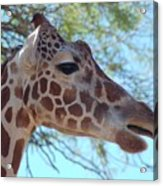 Giraffe 5 Acrylic Print