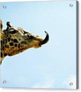 Giraffe And Tongue Acrylic Print