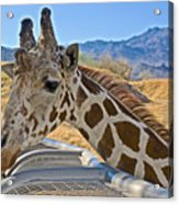 Giraffe At Feeding Station In Living Desert Zoo And Gardens In Palm Desert-california Acrylic Print
