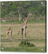 Giraffe Baby Acrylic Print
