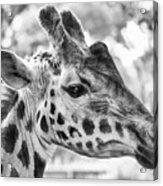 Giraffe Bw Acrylic Print