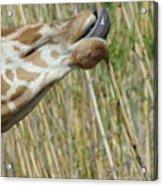 Giraffe Feeding 2 Acrylic Print