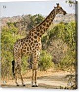 Giraffe Grazing Acrylic Print