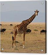 Giraffe In The Serengeti Acrylic Print