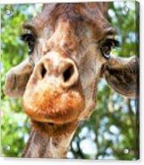 Giraffe Interest Acrylic Print