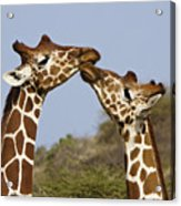 Giraffe Kisses Acrylic Print