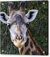 Giraffe Looking At You Acrylic Print