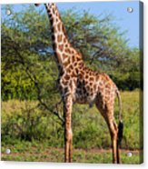 Giraffe On Savanna. Safari In Serengeti Acrylic Print