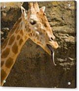 Giraffe Raspberry Acrylic Print