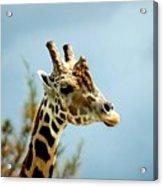 Giraffe Sky High Acrylic Print