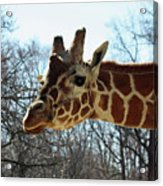 Giraffe Stretching For A View Acrylic Print