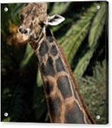 Giraffe Study 2 Acrylic Print