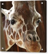 Giraffe Taking A Peek Acrylic Print