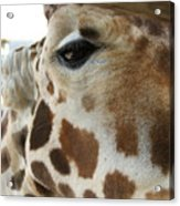 Giraffe Up Close Acrylic Print