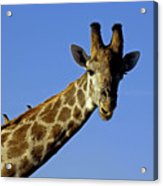 Giraffe With Oxpeckers Acrylic Print