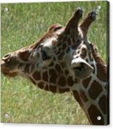 Giraffe's Head Acrylic Print