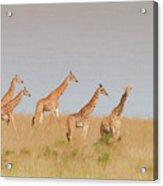 Giraffes Acrylic Print