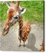 Giraffe's Point Of View Acrylic Print by Michael Garyet