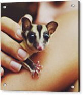 Girl Holding A Cute, Adorable And Curious Baby Sugar Glider Pet On Her Arm Acrylic Print