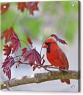 Give Me Shelter - Male Cardinal Acrylic Print by Kerri Farley