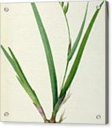 Gladiolus Cardinalis Acrylic Print